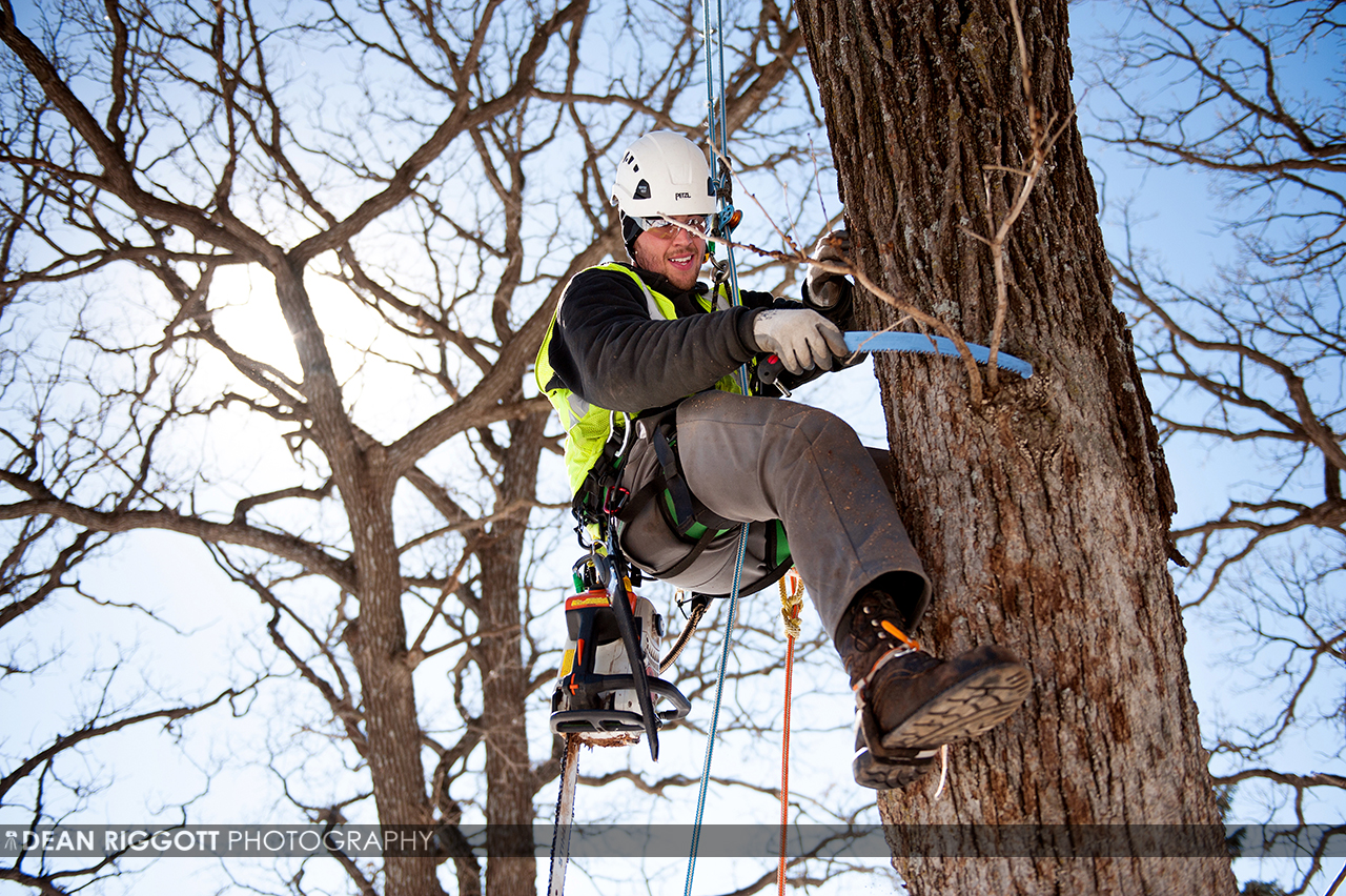 Workers with Maier Tree & Lawn climb and trim large oak trees at a client's home in SE Rochester, Minnesota.