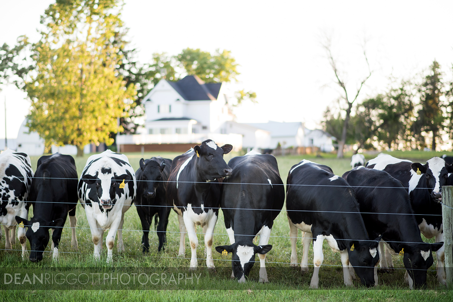 Cows in a pasture on a farm in southeastern Minnesota near Fremont.